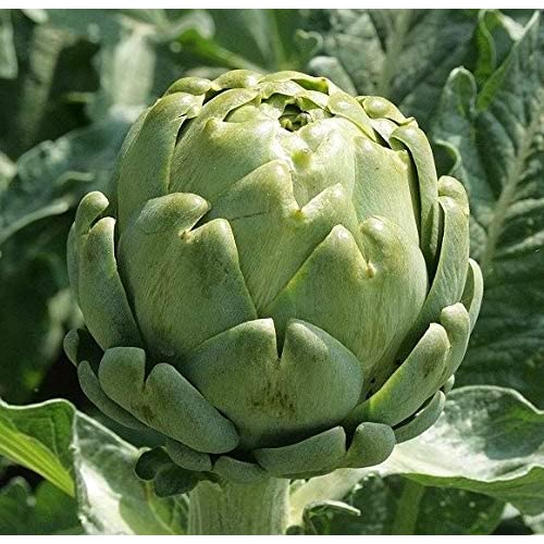 GROSEEDS Green Globe 30 Seeds Minimum Per Packet. V-ART-01 Vegetable Seeds Artichoke